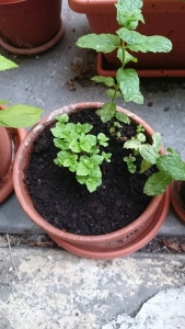 My sweet garden: growing mint